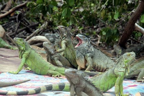 iguana-2880916_1280