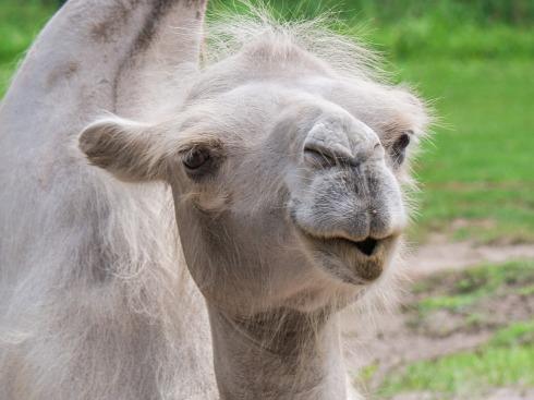 camel-3540678_1280